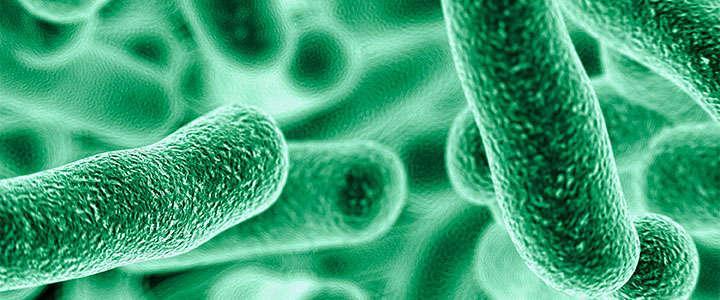 Lactobacillus brevis