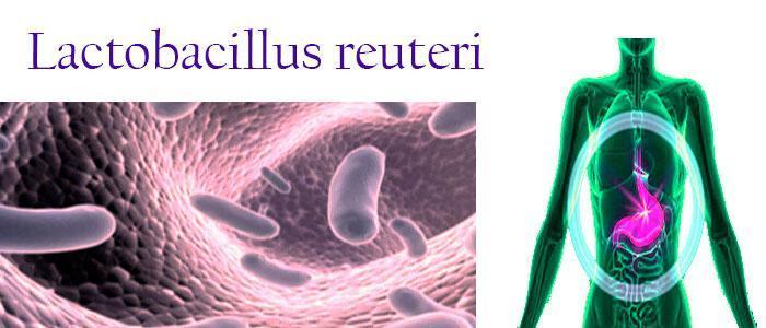 Lactobacillus reuteri, beneficios y efectos como probiótico para bebés y adultos